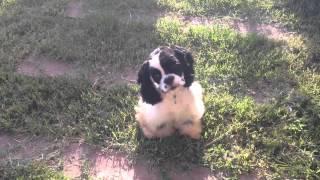 Cachorra Cocker Spaniel americano щенок американский Кокер-спаниель