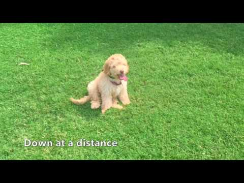 4.5 Month Old Golden Doodle, Riley! Doodle Dog Trainers | Golden Doodles Off Leash