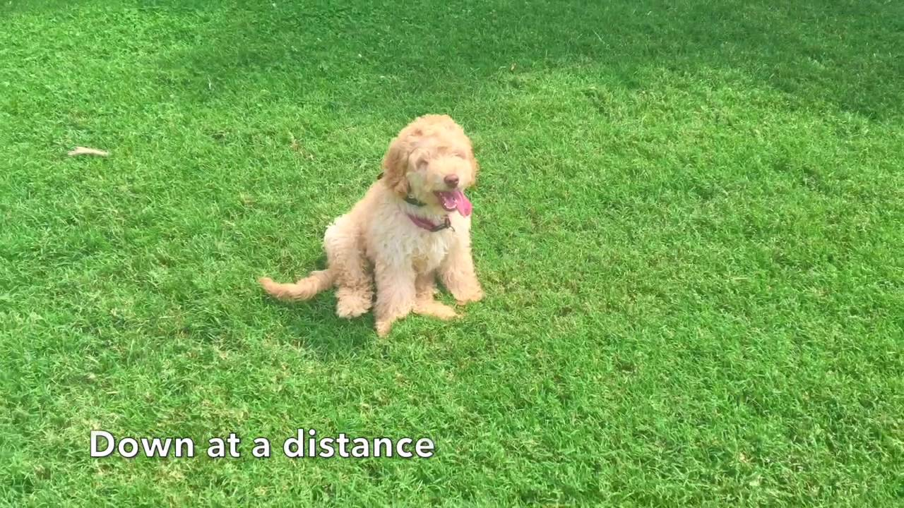 4 5 Month Old Golden Doodle, Riley! Doodle Dog Trainers | Golden Doodles  Off Leash