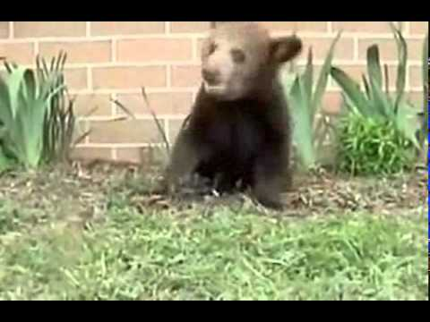 Baby Bear with Sneeze Attack