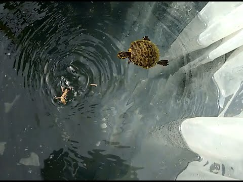 Trachemys Scripta Scripta mangia un Geco / Turtle eats a Gecko