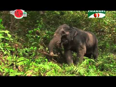 Nature and Life   Episode 12 Elephants of Bangladesh