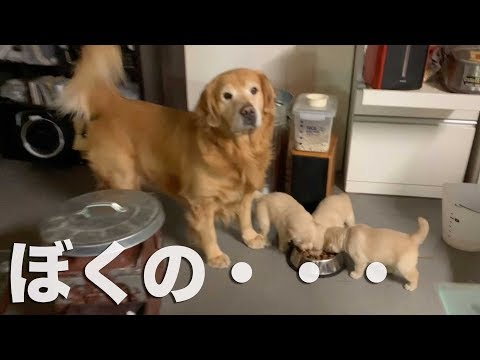 �供���んを譲�����父ゴールンレトリ�ー golden retriever give his daughter meals