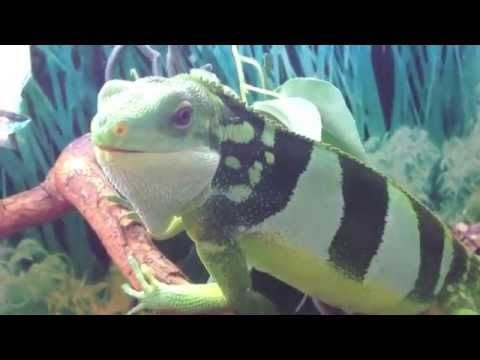 Fiji Iguana by Steve Ludwin