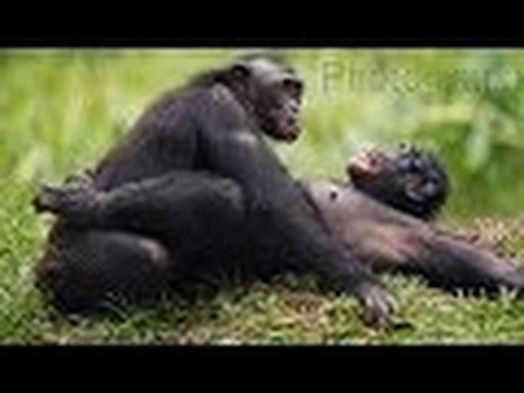 scene of Gorilla copulation - wild nature Congo