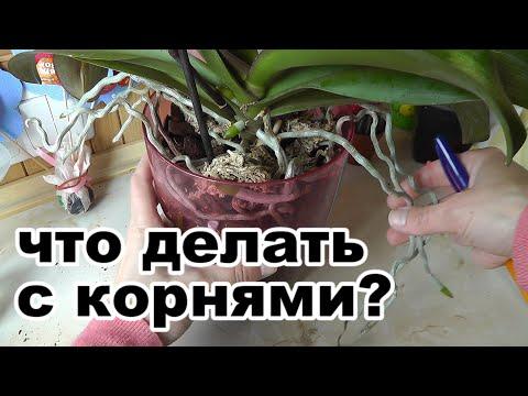 воздушные корни обрезать или оставлять? Для чего нужны воздушные корни Корни обрезать или закапывать