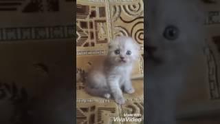 Продается шотландский котик,цена 4000