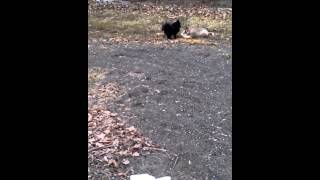 Husky Puppy And Pomeranian Dogs Playing