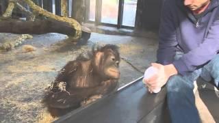 Орангутана рассмешил фокус в зоопарке Барселоны   Видео   TOPNews RUvia torchbrowser com