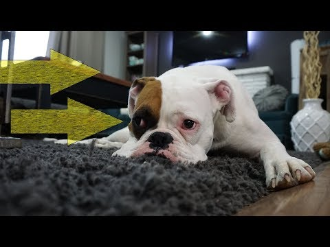 Get Dog Urine Out Of Carpet In Elgin  CALL TODAY (847)725-0076