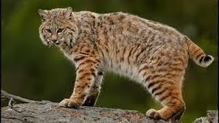 Bobcat as a Totem: Your Personal Power Animal