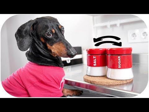 You Don't Fool Me! Funny dachshund dog video!