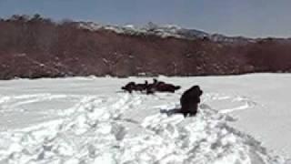2011.2.13 9頭のニューファンドランドで雪遊び。場所は山梨県清里高原...
