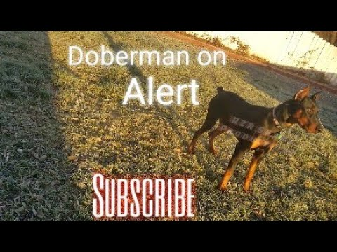 European Doberman Pinscher on Alert!