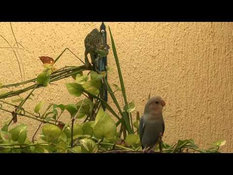 Chameleon vs bird