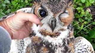 Hawk Kills A Great Horned Owl