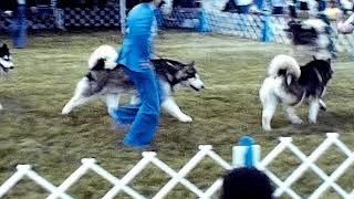 1976 Alaskan Malamute Dog show  Stone City KC