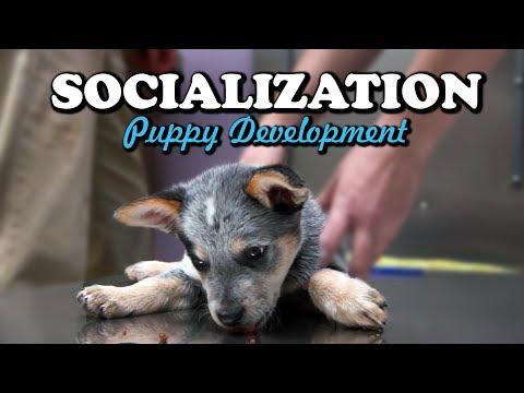 Socialization - Puppy Development