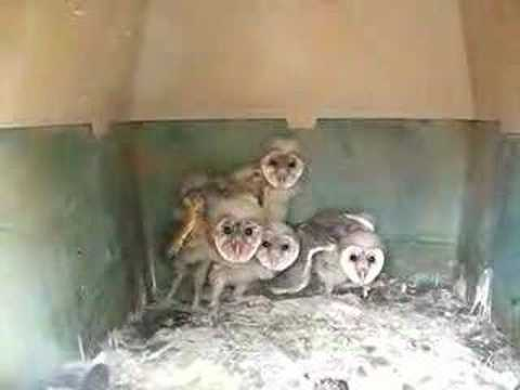Baby owls hissing July 5 - YouTube