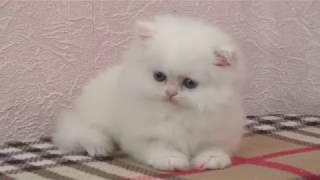 Белый персидский котенок в продаже White persian kitten for sale