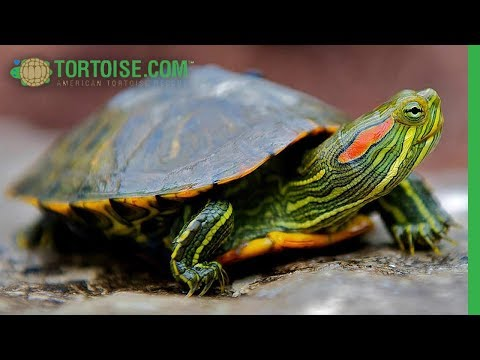 Adopt One Of These Small Red Eared Sliders! | American Tortoise Rescue