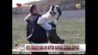 Türkiye'nin en büyük köpeği Fifi ve en küçük köpeği Fındık