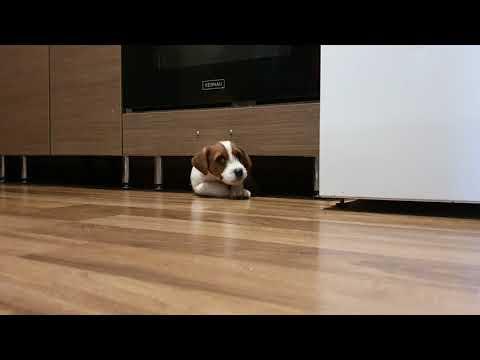 Jack Russell Terrier  - Litter D  - DEAR JACK SPARROW Jurassic Jack  FCI