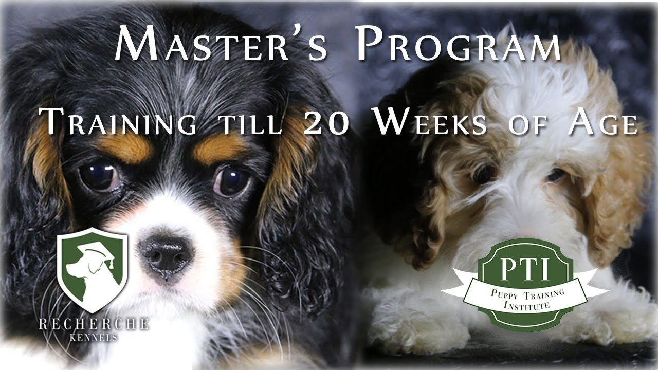 Cavalier King Charles And Cavapoo Puppy Training Institute