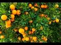 Siembra y Cosecha de la Naranja - TvAgro por Juan Gonzalo Angel