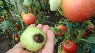 видео вершинная гниль томатов