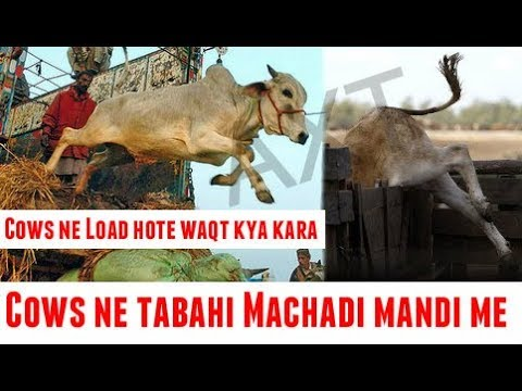 Angry Cows Loading On The Truck Cow Mandi 2019 | Cow Mandi Shahpur Kanjra  Lahore - Episode 2