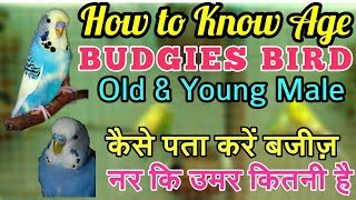 HOW TO KNOW AGE BUDGIES YOUNG AND OLD MALE