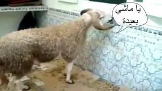DZ ANIS ~KABCH-EL 3ID~كبش العيد