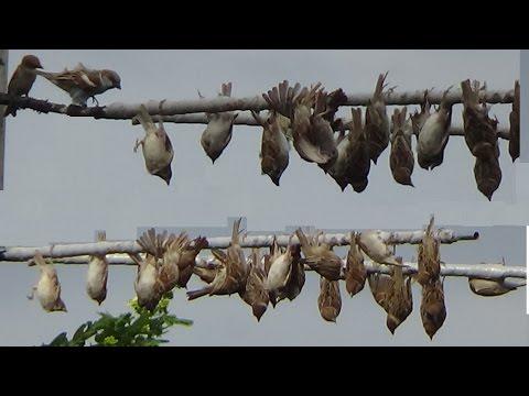 MR.TRÍ - Bẫy Chim Sẻ Già  | Tiếng Mới 2017 | Đất Miền Tây Nam Bộ