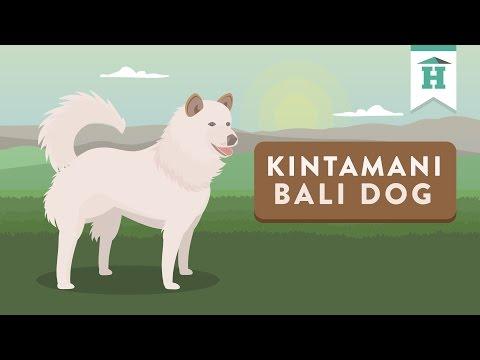 Animasi Anjing Kintamani Bali (Shortclip)