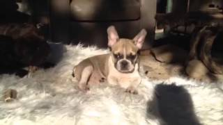 Fawn French Bulldog Puppy - Tiny Female - Pamela Is Her Name.