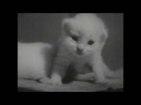 PRIVATE LIFE OF A CAT - CUTE FILM FROM 1947  (CUTE CATS & CAT BIRTH)
