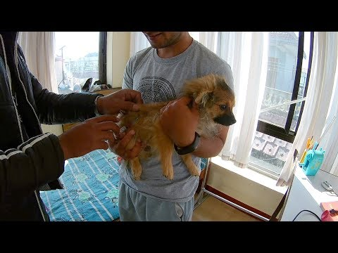 Pomeranian puppies booster vaccination