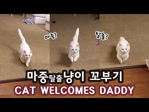 마중탈출냥이 꼬부기 CAT WELCOMES DADDY TO RUN AWAY?