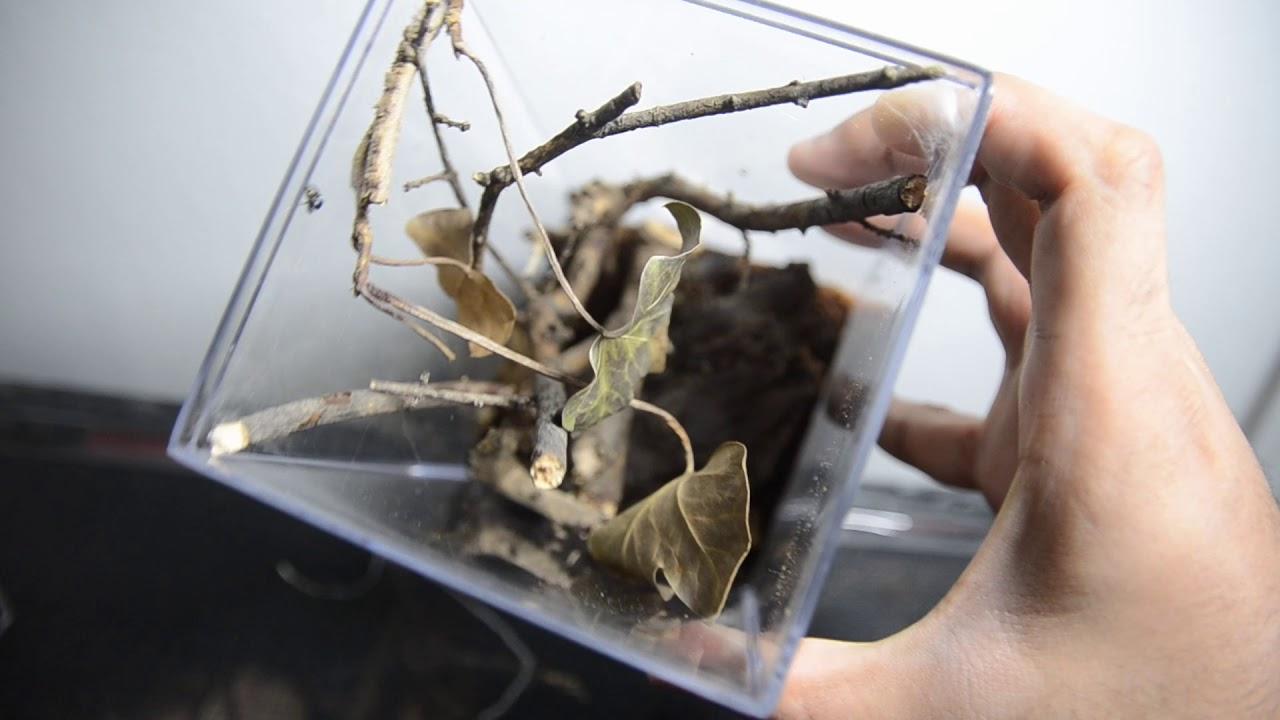 Jumping Spider Enclosure Phidippus Regius Youtube