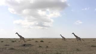 ケニアのマサイマラ国立公園に行ってきました! サバンナで目の前を雄大...