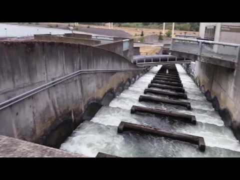 Bonneville Dam Fish Ladder Chinook Salmon And Lampreys