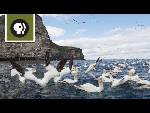 Chim Ó Biển Lặn Bắt Cá