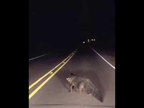 Tammany gator crosses highway near Mandeville.