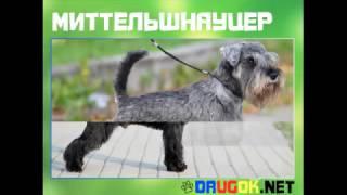 Миттельшнауцер - Немецкая порода