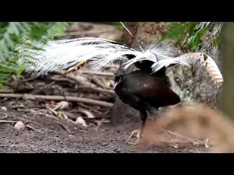 Lyrebird video by Stephen Powell Wildlife Artist