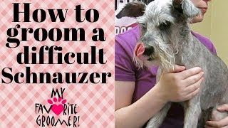 How to Groom a difficult Schnauzer