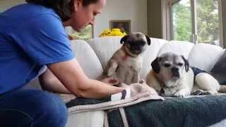 Senior Pug Versus Grippers Dog Socks