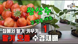 집에서 딸기 키우기 수경재배 모종 4일차 왕상추도 구경…
