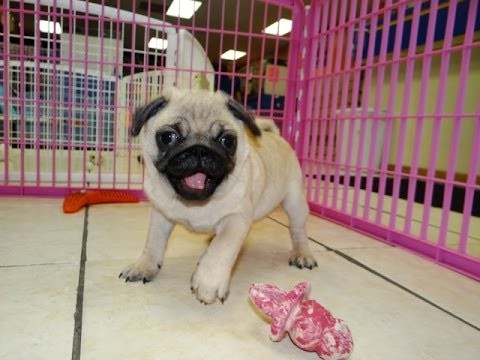 Pug Puppies Dogs For Sale In Phoenix Arizona Az